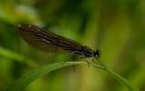 Blå jungfruslända, hona. Calypteryx virgo