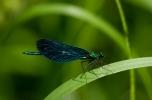 Blå jungfruslända, hane. Calypteryx virgo