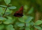Skogsgräsfjäril